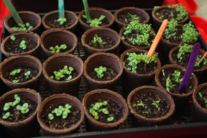 Basil, thyme, parsley day 21