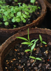 Parsley, in front; thyme at back - day 21