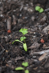 parsley seedling
