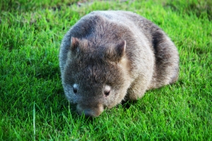 wombat sunday april 14 2
